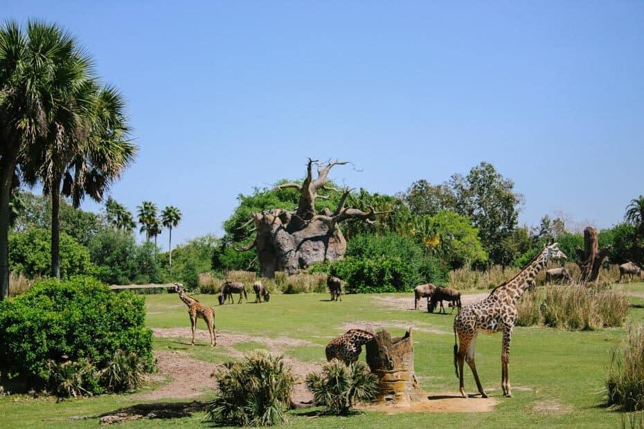Savanna with animals on Kilimanjaro Safaris