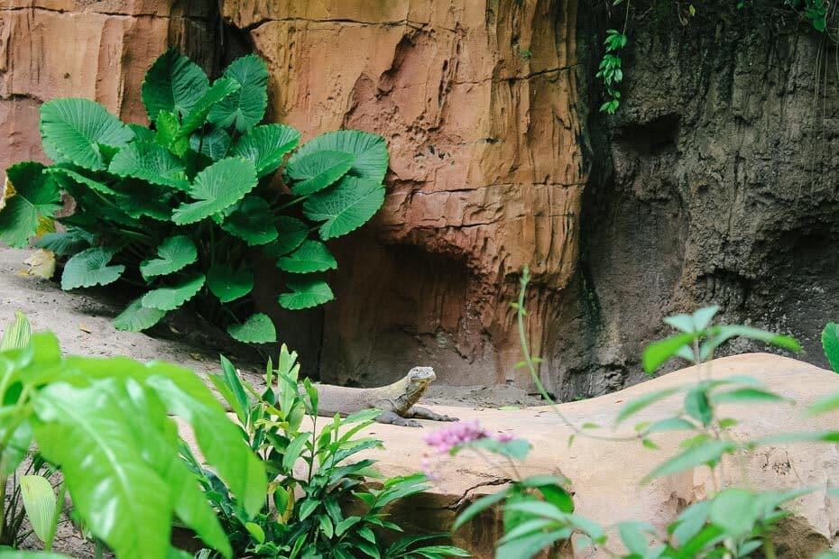Komodo Dragon in Maharajah Jungle Trek